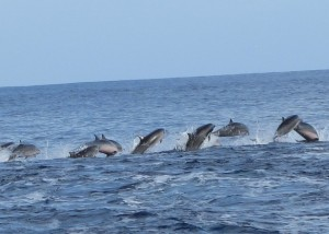 Awesome Dolphins in Kadavu, Fiji