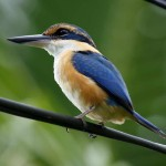 Collared Kingfisher - Birding treat adventure Package, Matava, Fij
