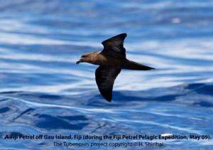 Fiji Petrel