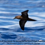 Birding treat adventure Package, Matava, Fijhas Blue head on Kadavu