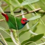 Fijian Parrot Finch, Kadavu