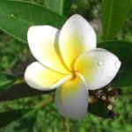 Flora Frangipani