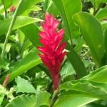 Flora Ginger