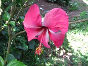 Flora Pink Hibiscus