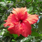 Flora Red Hibiscus