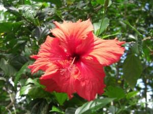 Flora Red Hibiscus