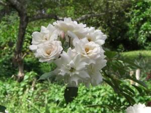 Flora Roses