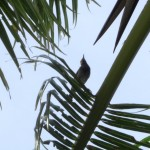 Kadavu Honeyeater - Birding treat adventure Package, Matava, Fijhas Blue head on Kadavu