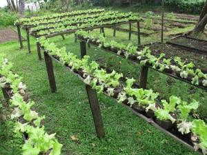 Lettice seedlings