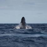 Breaching Humpback